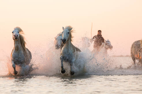White horses running through water, The Camargue, France - MINF15531