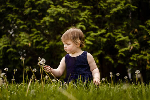 Cute girl picking dandelion seed while sitting on grassy land in park - AWAF00025