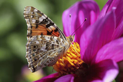 Painted lady(Vanessacardui)feeding on blooming flower - JTF01774