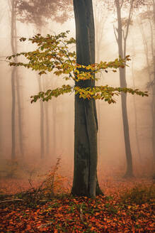 Forest with red beech trees in foggy autumn time - CAVF92080