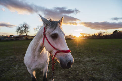 Horse wearing bridle looking away while standing in ranch during sunset - RSGF00527