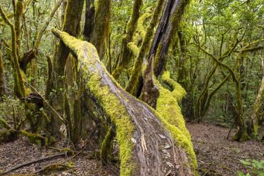 bemooste B�ume, Lorbeerwald, Nationalpark Garajonay, La Gomera, Kanaren, Spanien - SIEF10119