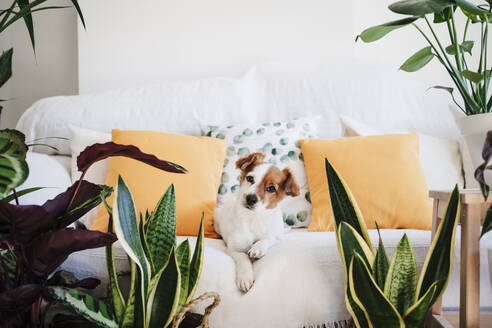 Dog resting on sofa by houseplants at home - EBBF02522