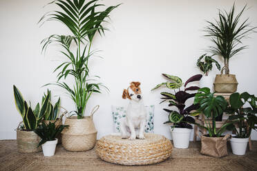 Dog staring while sitting on ottoman stool by houseplant decor at home - EBBF02525