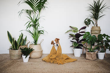 Dog covered in blanket sitting by houseplant decoration at home - EBBF02528