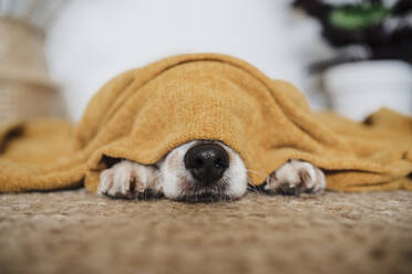 Puppy covered in blanket lying on carpet at home - EBBF02534