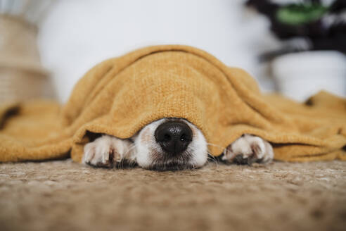 Dog covered in blanket lying on carpet at home - EBBF02534