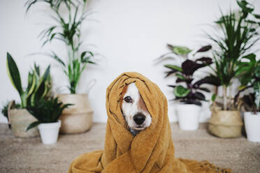 Playful dog covered in blanket sitting at home - EBBF02537