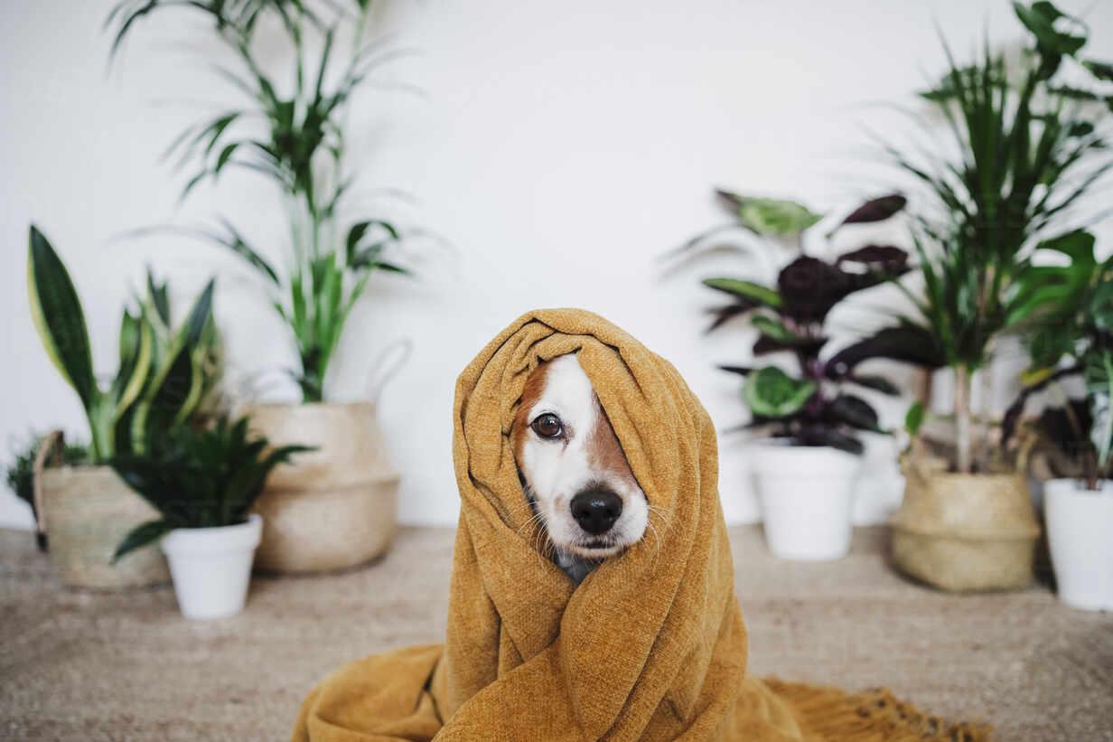 Verspielter Hund, bedeckt mit einer Decke, sitzt zu Hause - EBBF02537 - Eva Blanco/Westend61