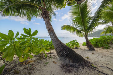 A famous tropical beach with Palm Trees at Baie Lazare. Baie Lazare, Mahe, Mahe Island, Seychelles, Indian Ocean, Africa. - RUEF03210