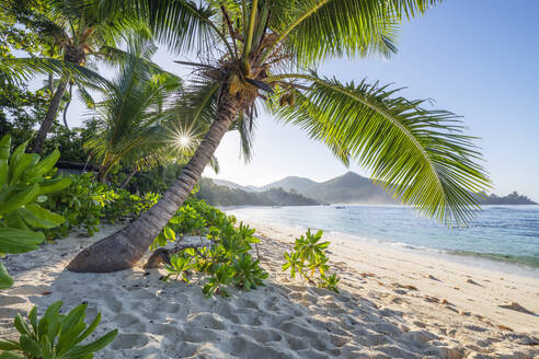 Palm tree growing on Baie Lazare beach in summer - RUEF03213
