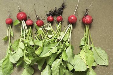 Row of freshly dug radishes - SABF00072